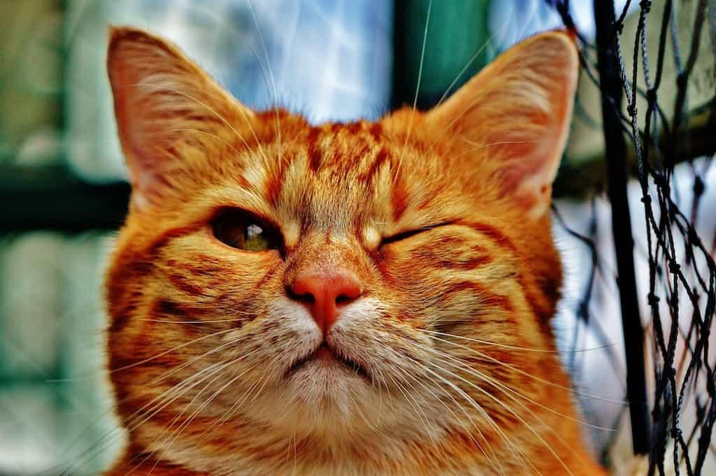 funny orange cat
