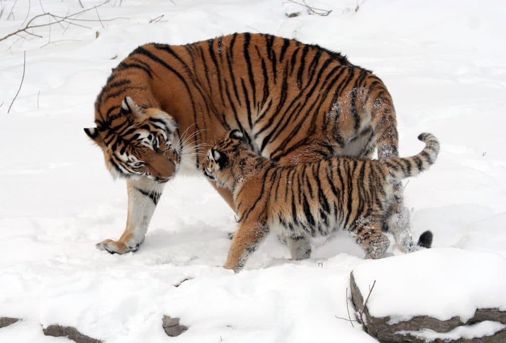 Big and Small tiger