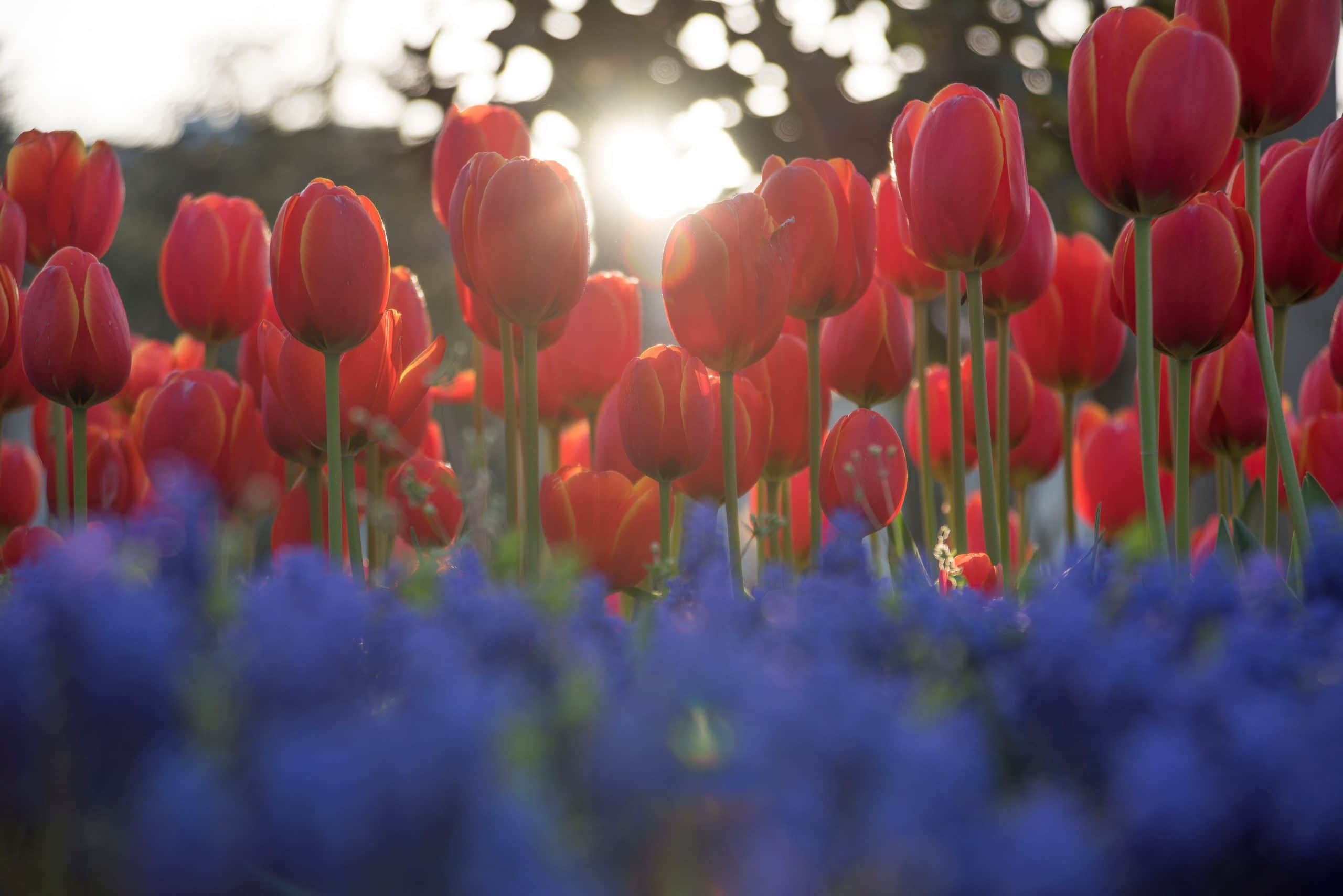 red tulips and psychology of color