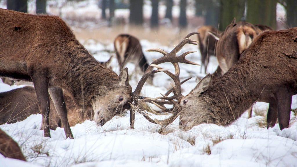 deer bucks competing