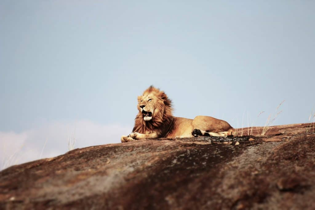 lion resting on top of a hill